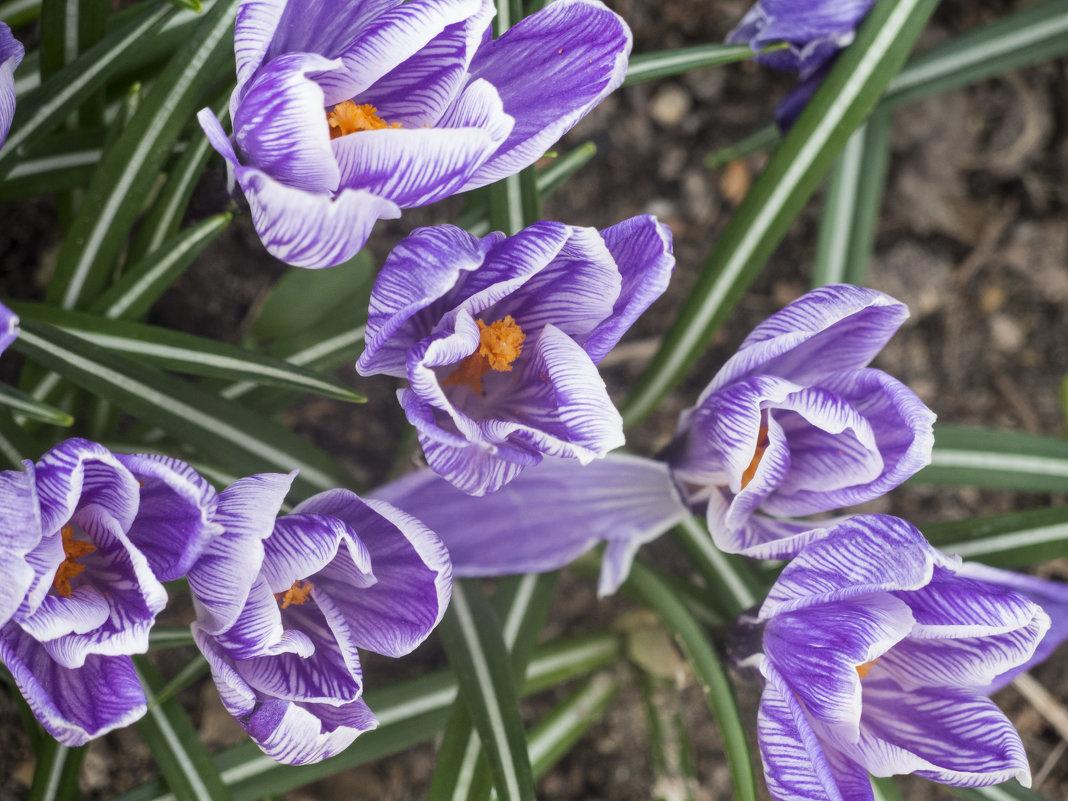 Первоцветы в Аптекарском огороде - marmorozov Морозова