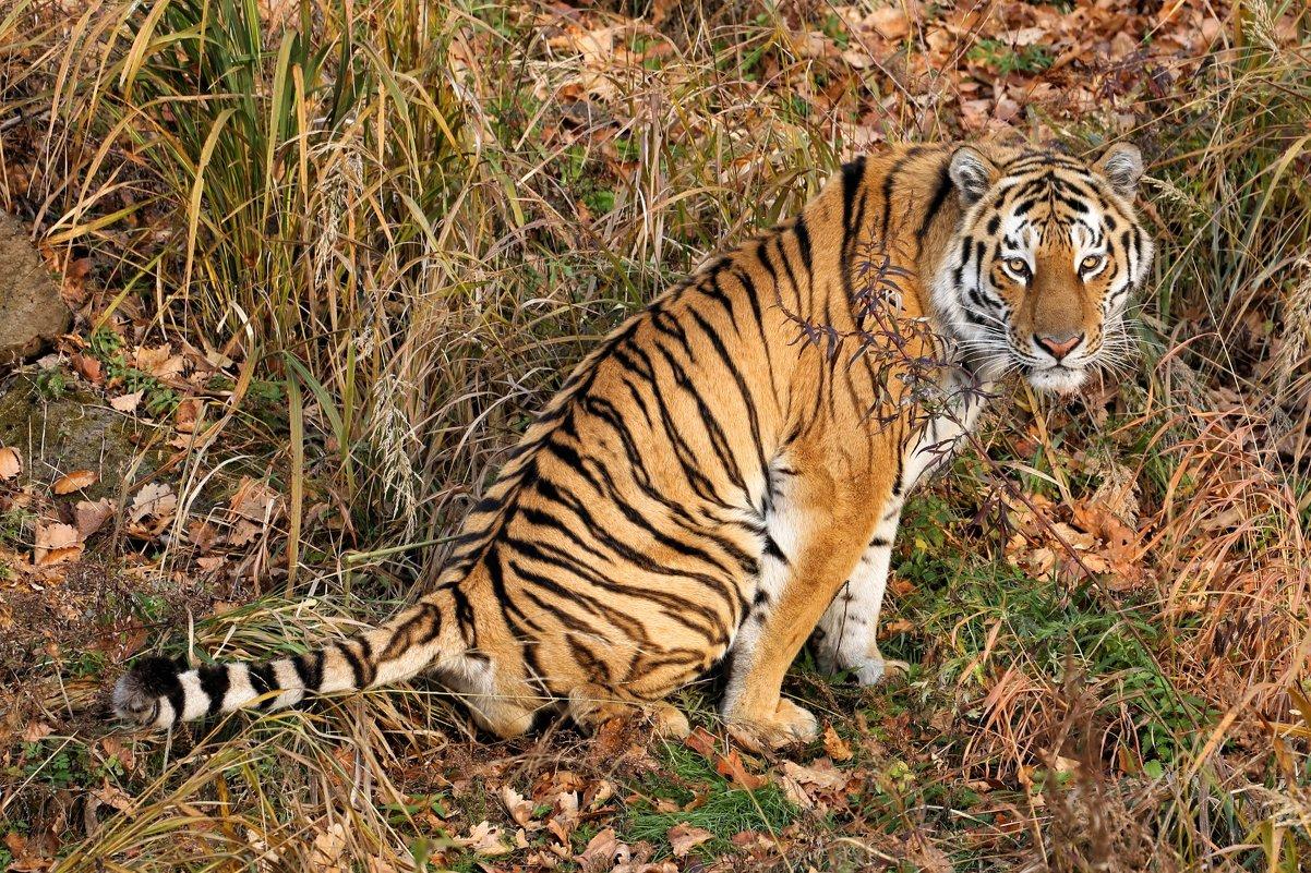 Амурские тигры стали чаще посещать Уссурийский заповедник