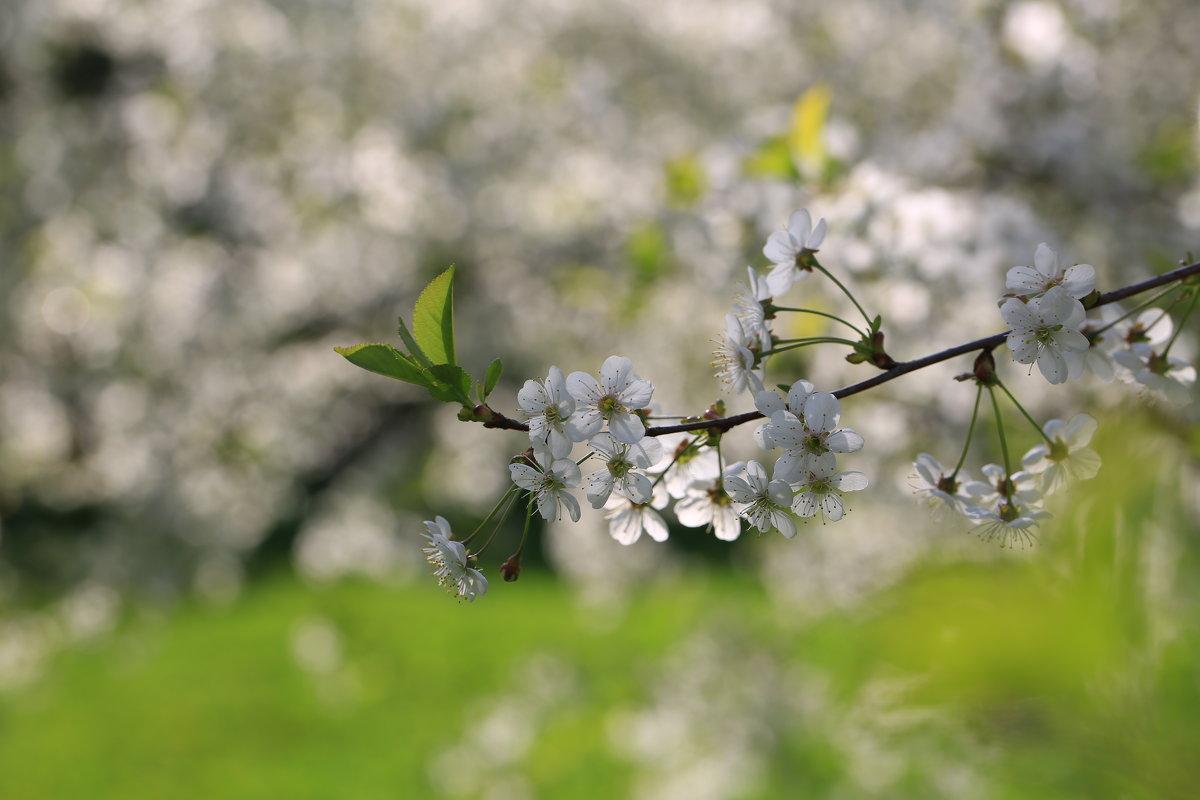 Вишни цвет - ninell nikitina