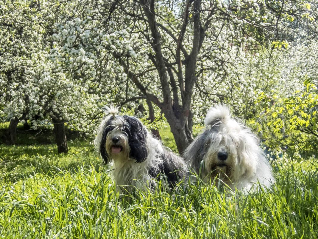 девочки и яблони в цвету - Лариса Батурова