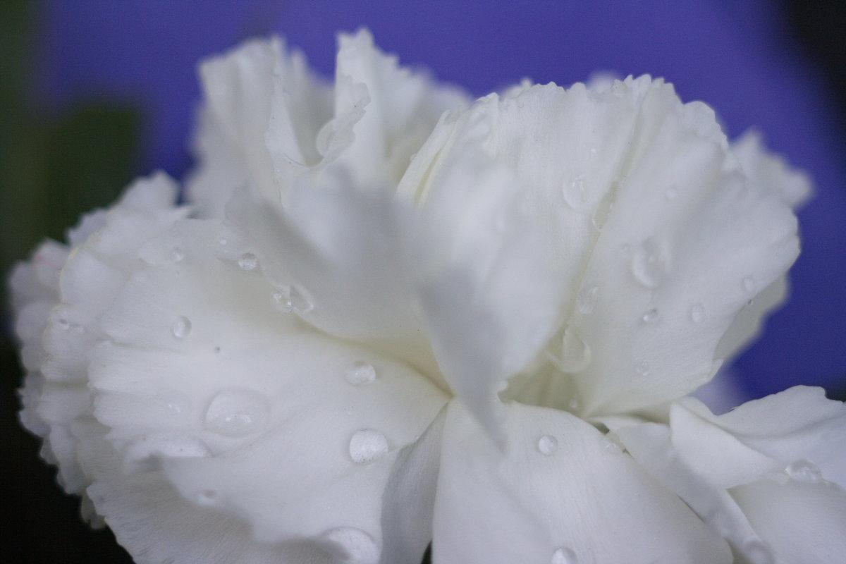 Холодные оттенки чувственного цветка - Лира Цафф