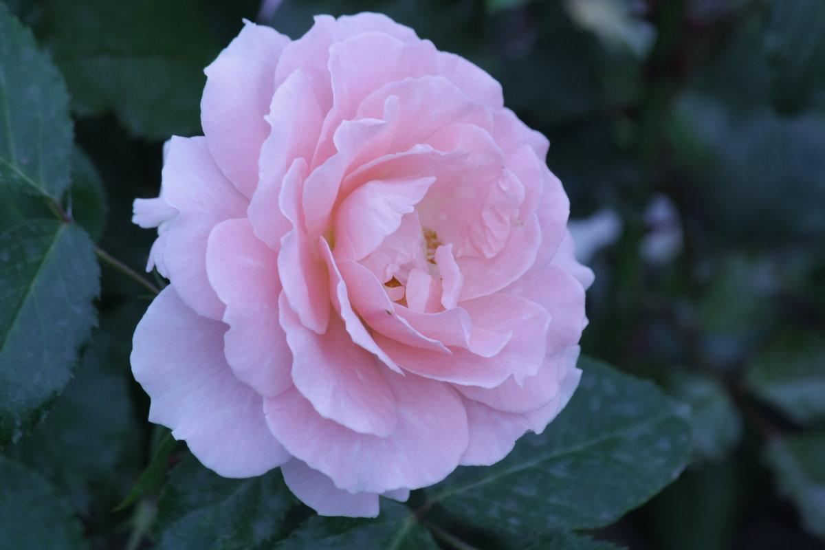 Просто роза - mirtine