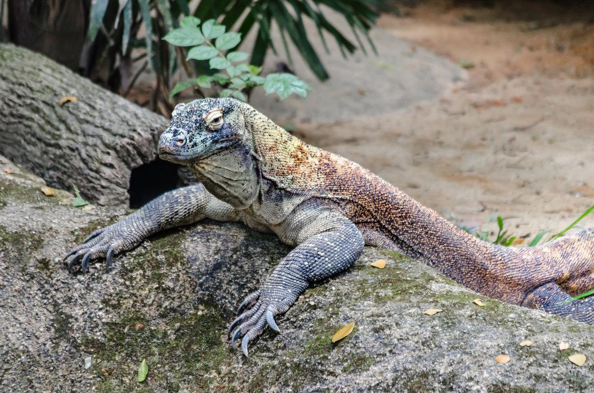 Варан, Сингапурский зоопарк. - Edward J.Berelet