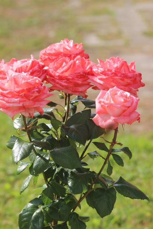 розы - Димончик