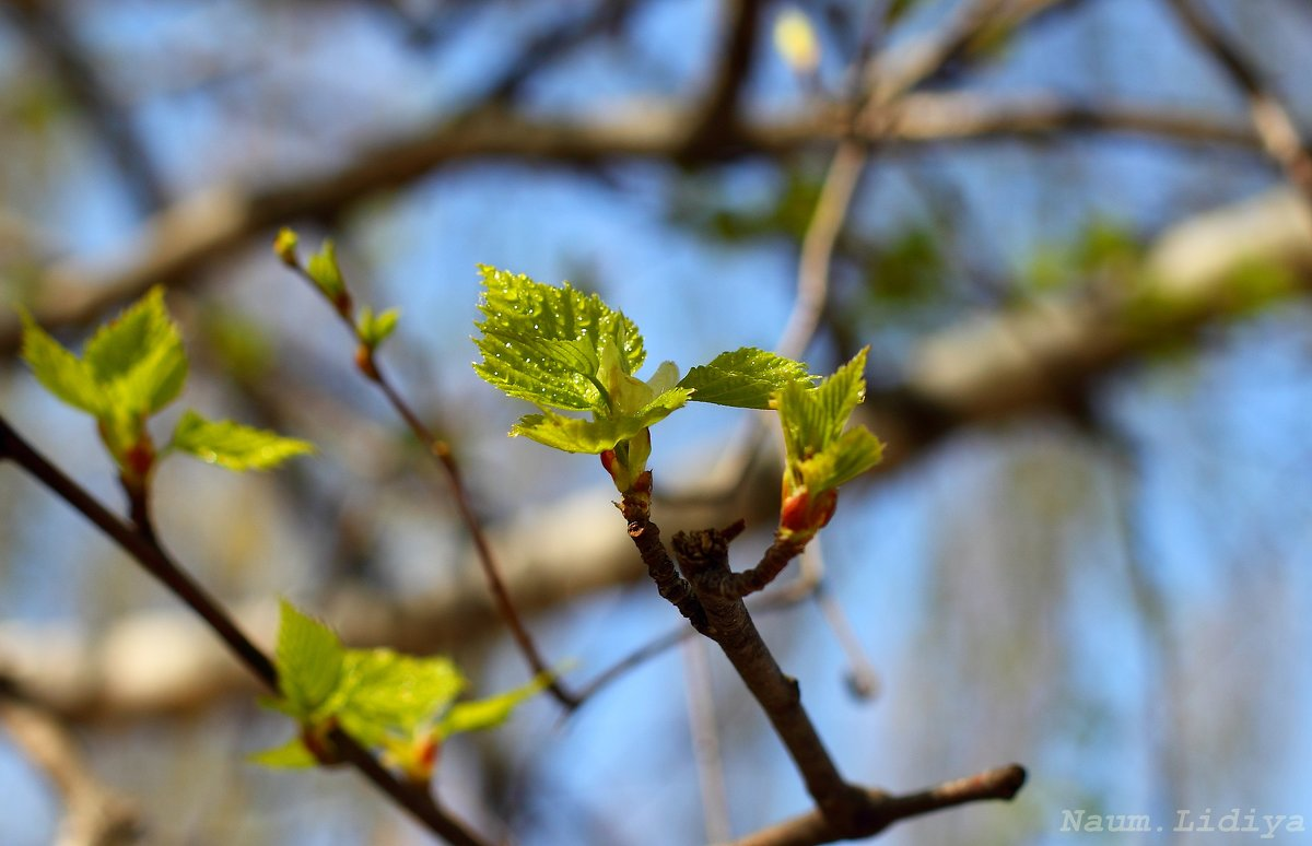 Нежность березы - Лидия (naum.lidiya)
