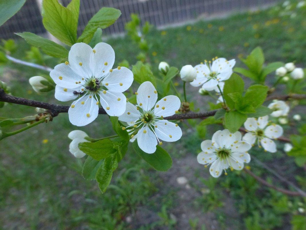 Цветут фруктовые... - Наиля