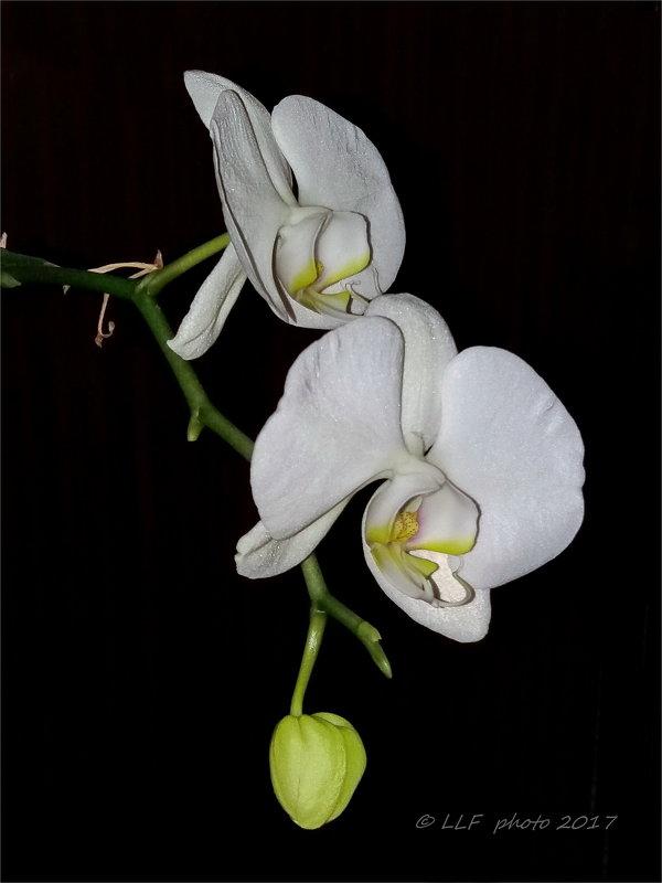 Орхидеи - Liudmila LLF