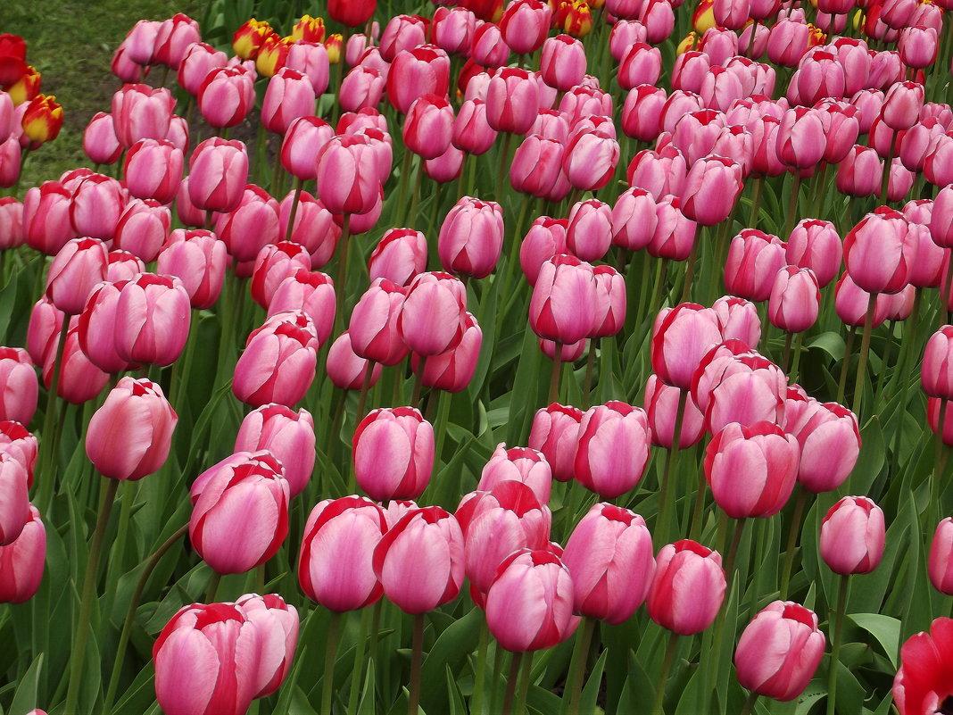 Ждём VI Фестиваль тюльпанов на Елагином острове. Открытие 19-20 мая 2018 г. - Вероника