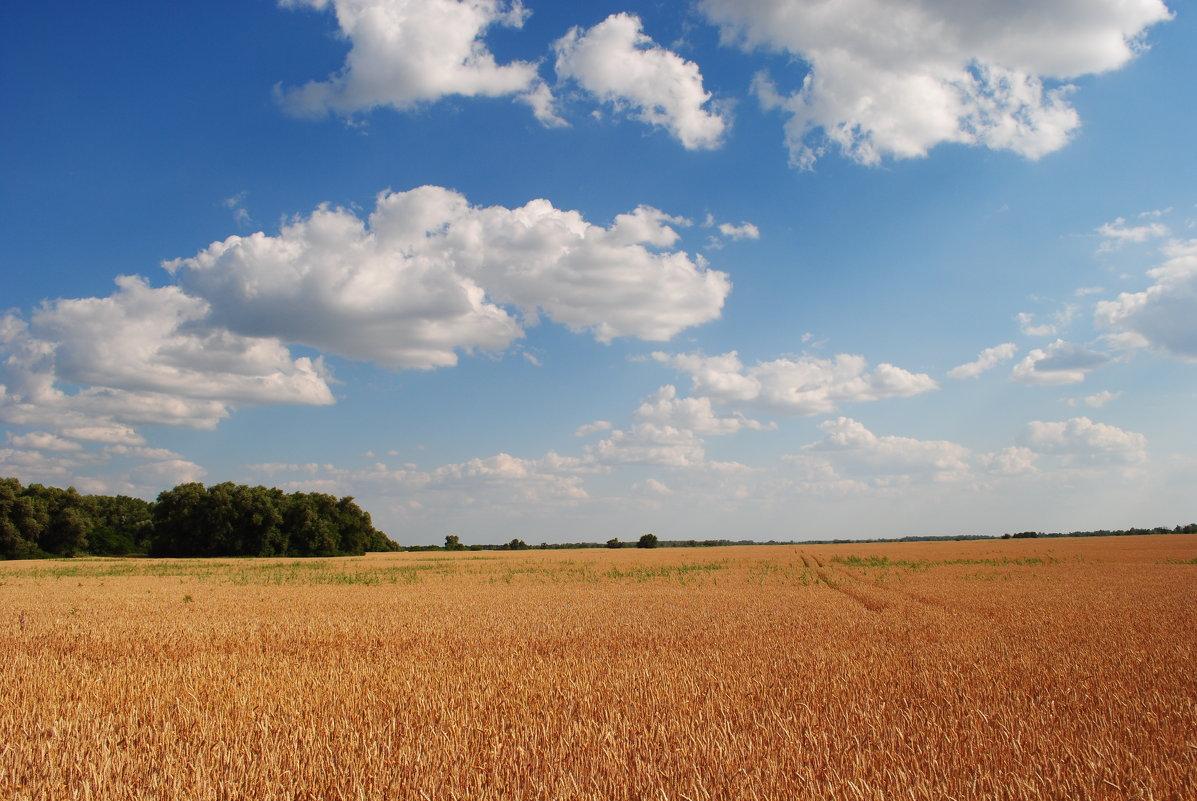 Пшеница созрела. - Виктор