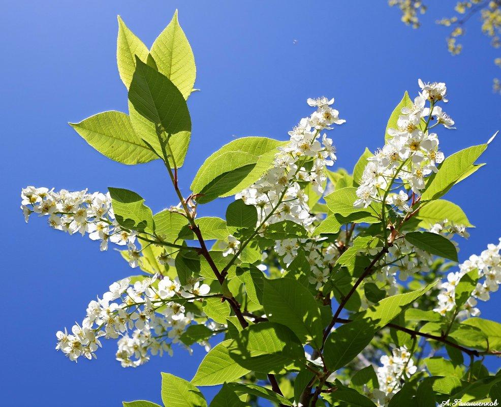 И как всегда струится в майский полдень аромат черёмухи душистой.. - Андрей Заломленков