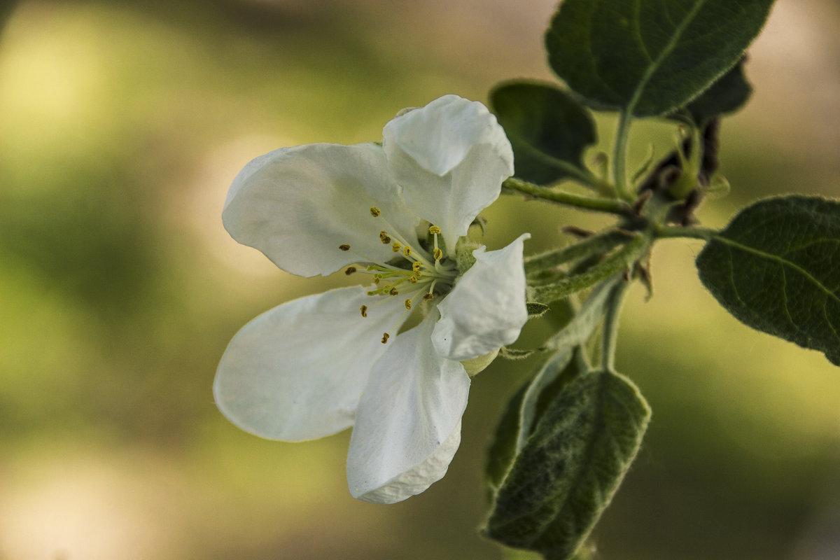 цветок яблони - оксана