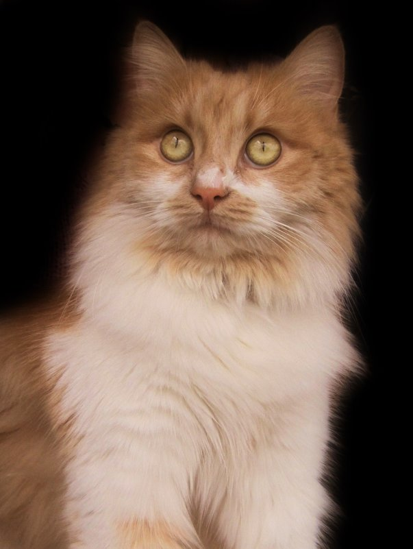 Кошка Алиса.фото-2. - Nata
