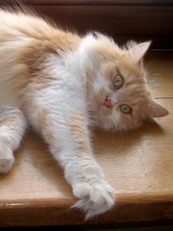 Кошка Алиса.фото-4. - Nata