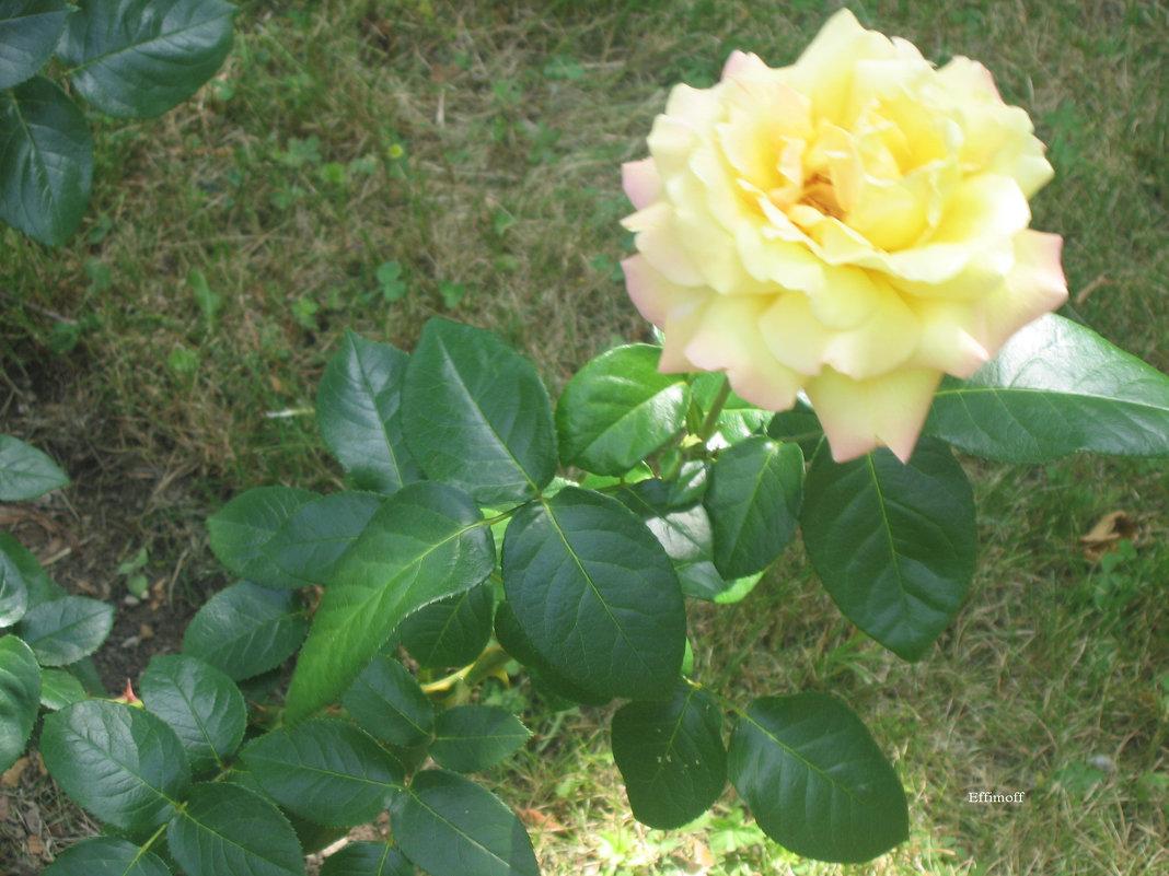 Жёлтая роза - Алексей Ефимов
