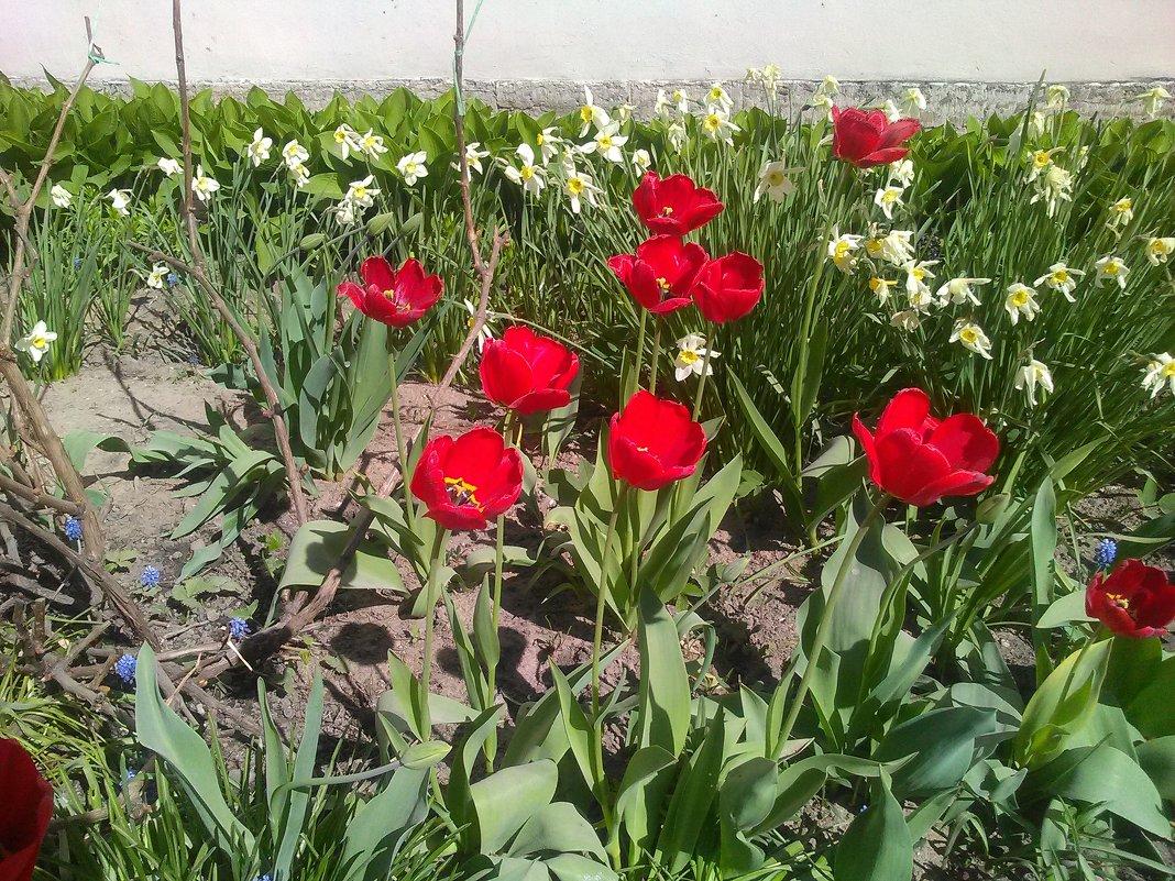 Тюльпаны при Казачьей церкви. (Май, 2018 года, СПб). - Светлана Калмыкова