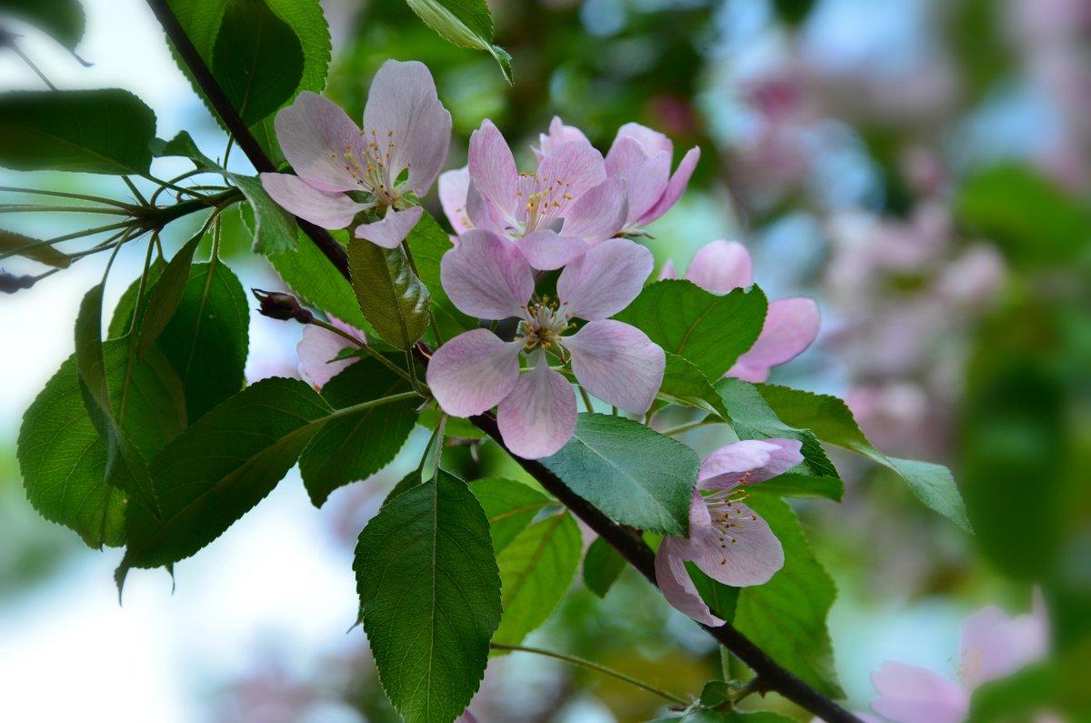 Цветущих яблонь волшебство - Ольга Русанова (olg-rusanowa2010)