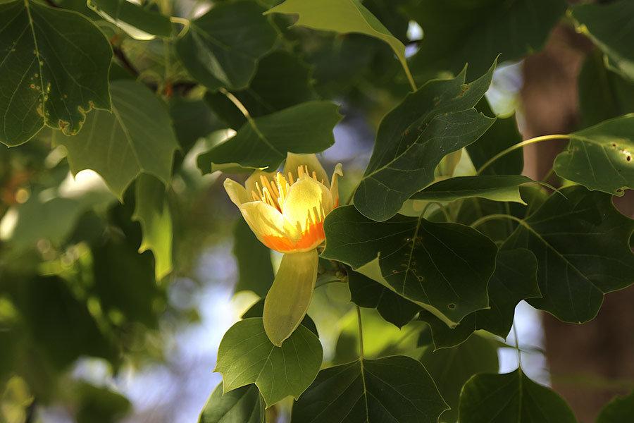 НазваЦветок тюльпанового деревание - Alexander Varykhanov