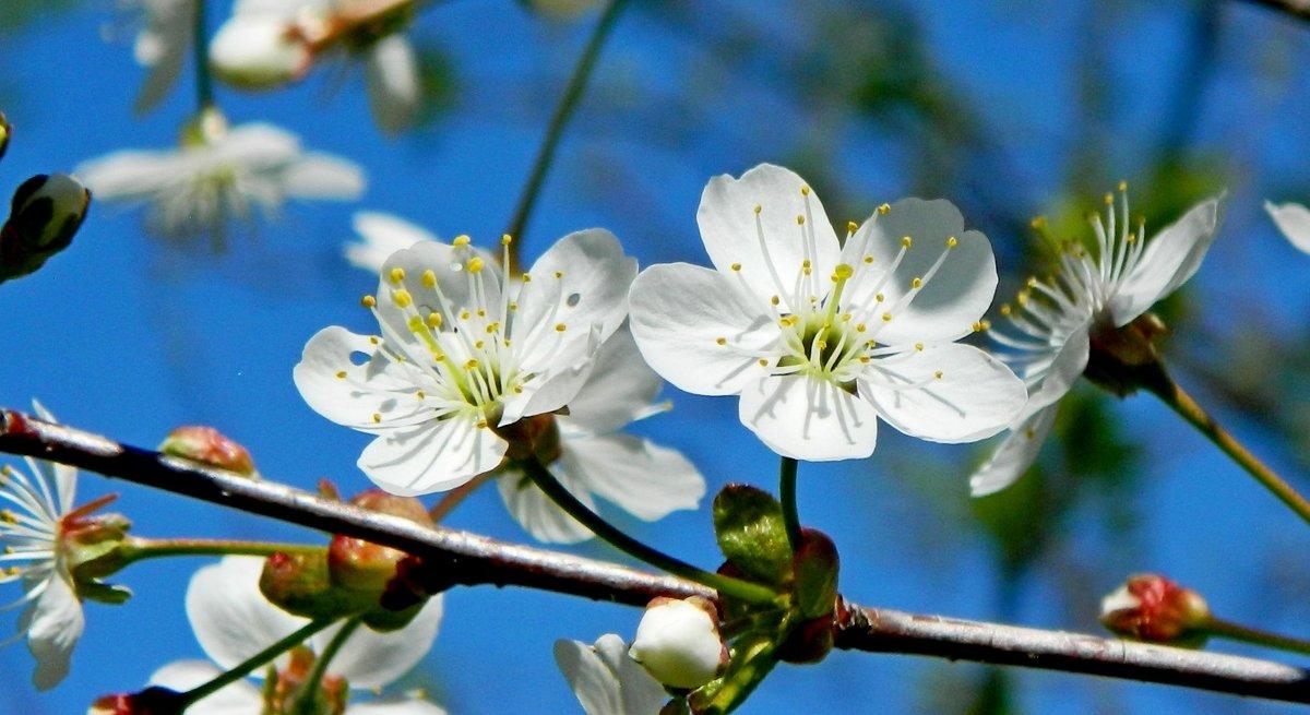 Вишня цветет! - ирина