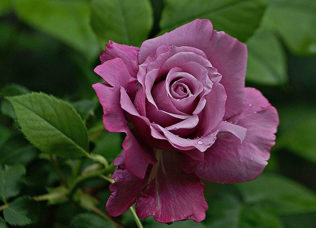 розы бывают разные... - Александр Корчемный