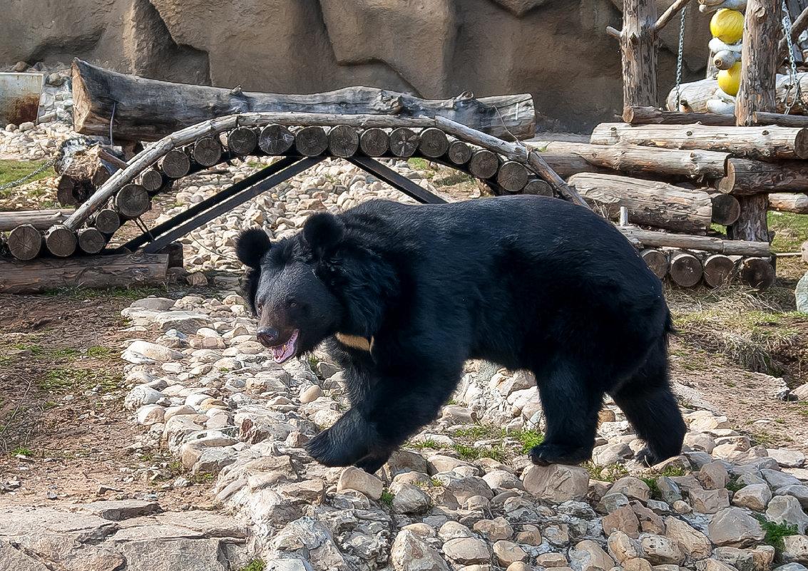 Чёрно-белый медвежонок в зоопарке - Владимир Максимов