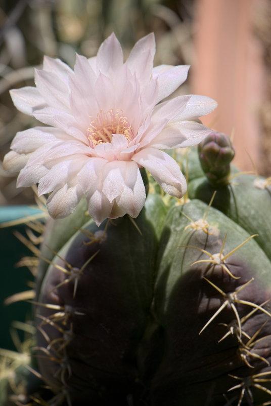 Мой кактус цветет - Александр Деревяшкин