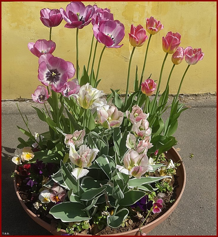 Тюльпаны - Вера