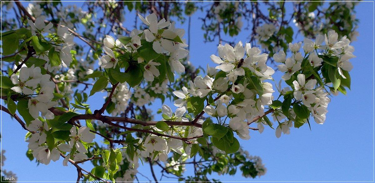Яблони в цвету - muh5257