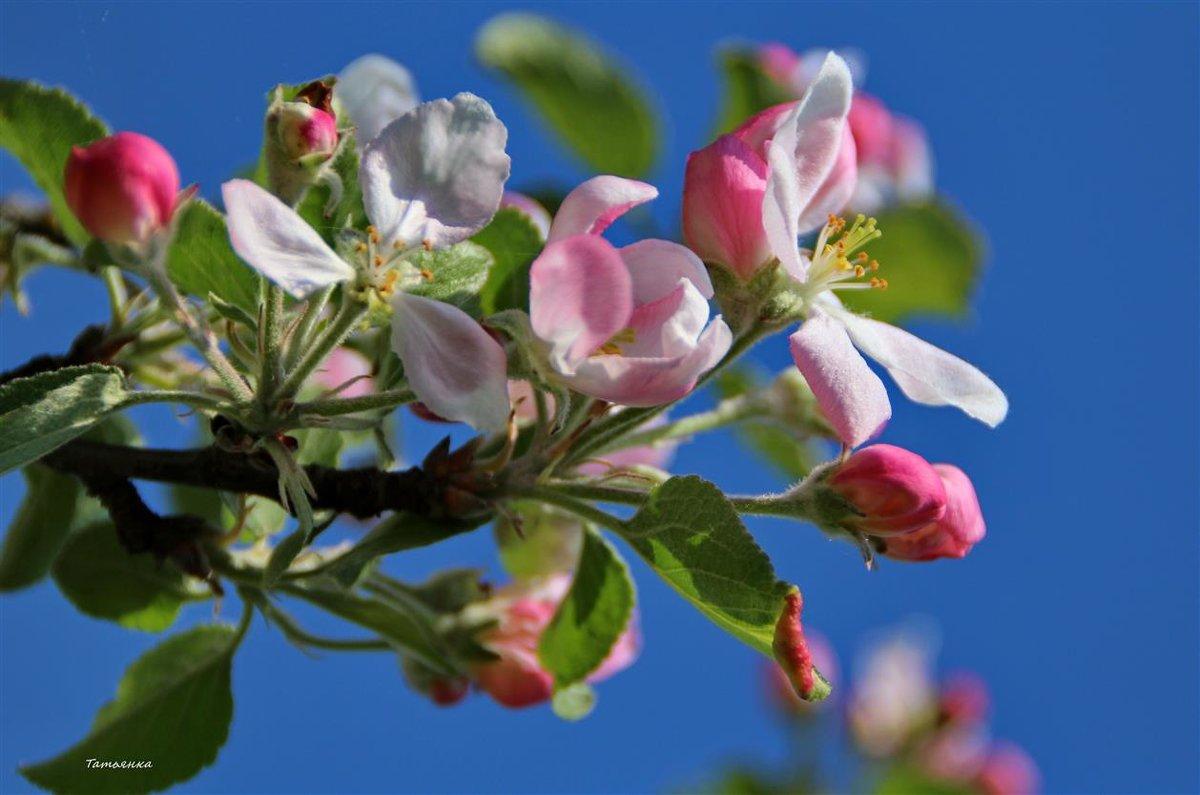 Изумителен цветущий яблоневый сад. - Татьянка *