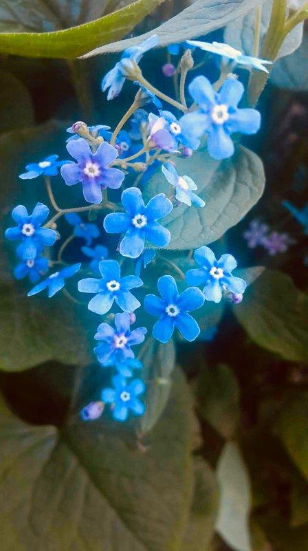 Голубоглазки - Вера