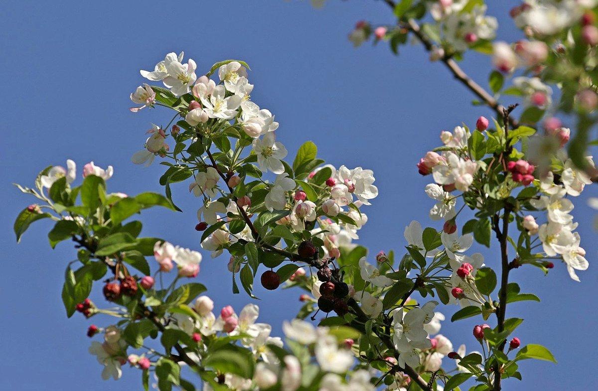 Яблоня в цвету - Павел