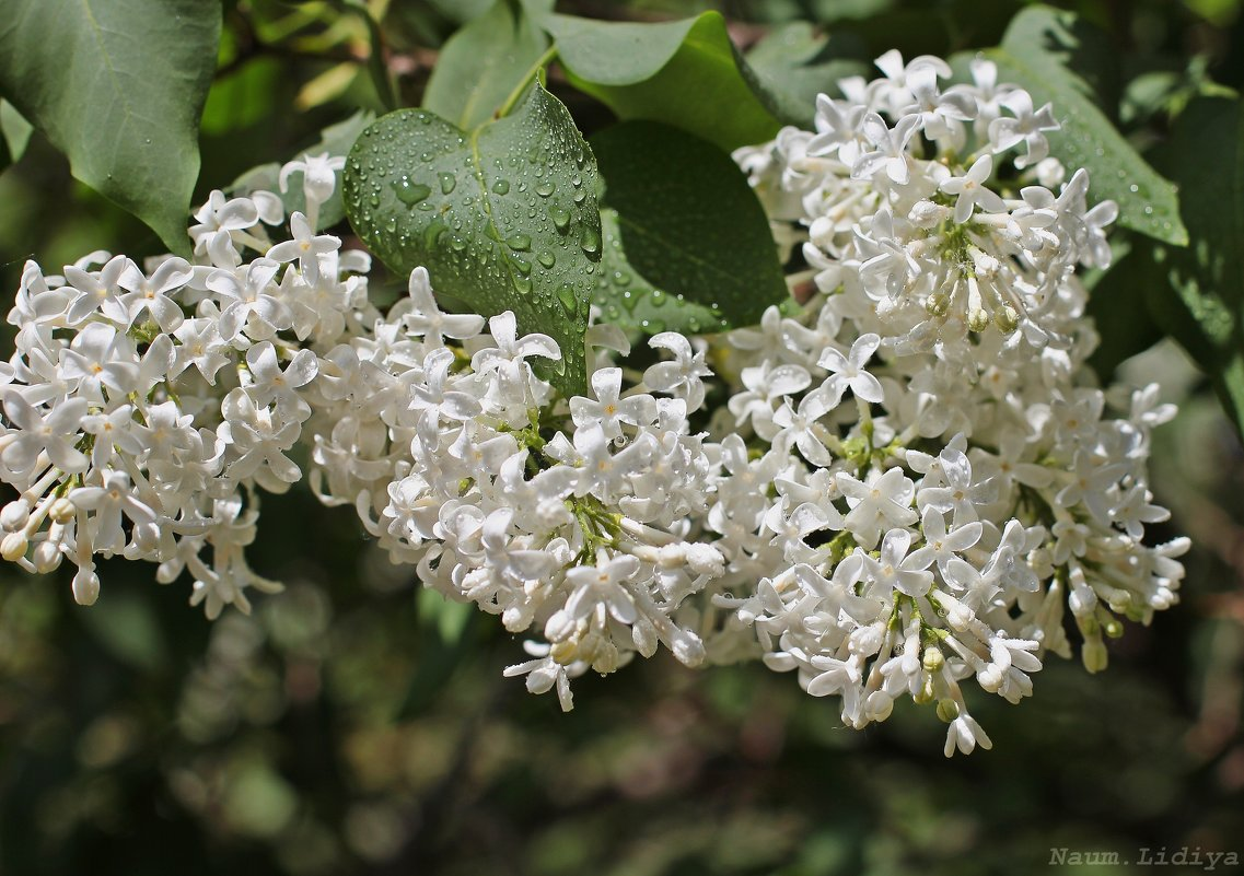 Белоснежный запах - Лидия (naum.lidiya)
