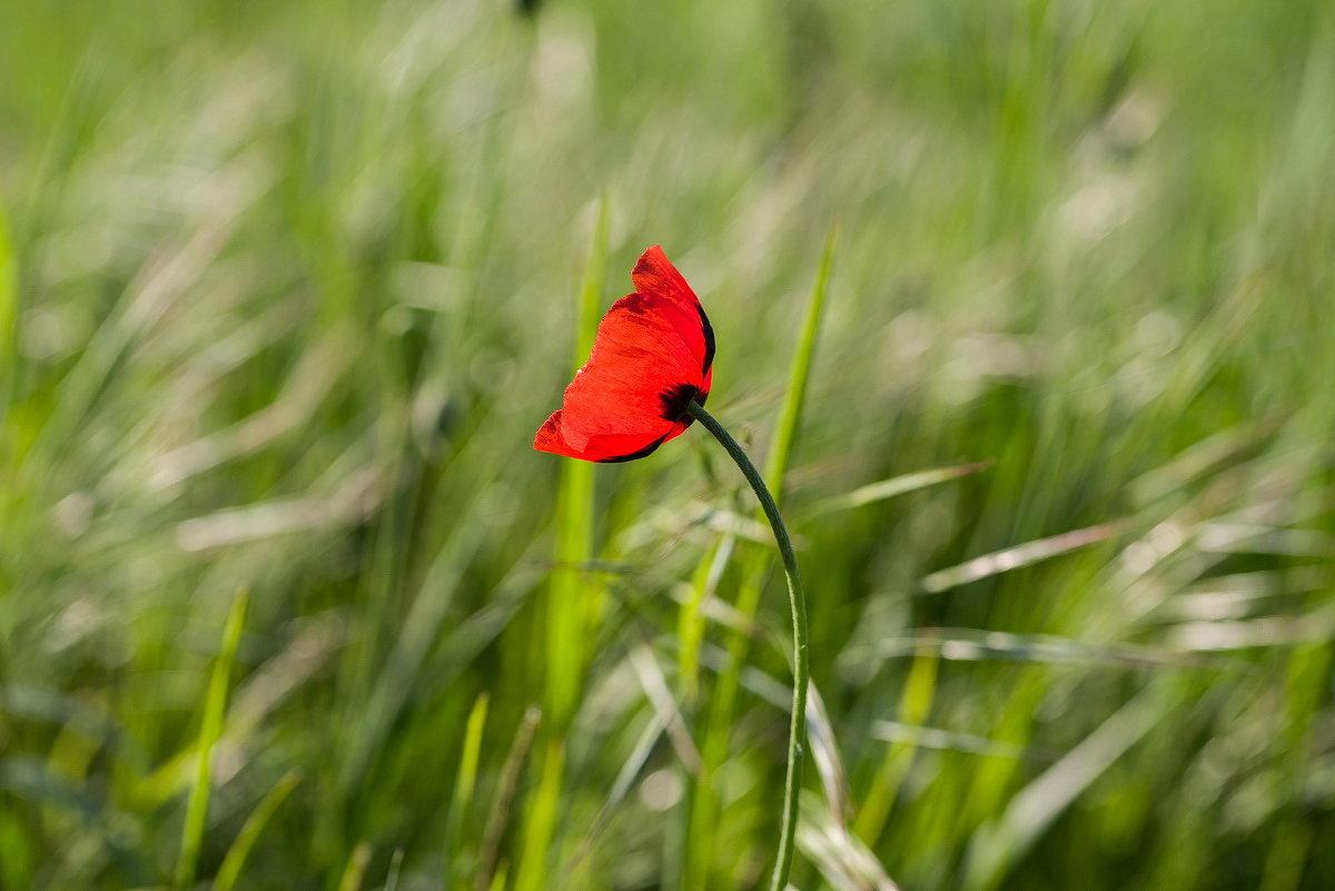 Полевой цветок - Николай