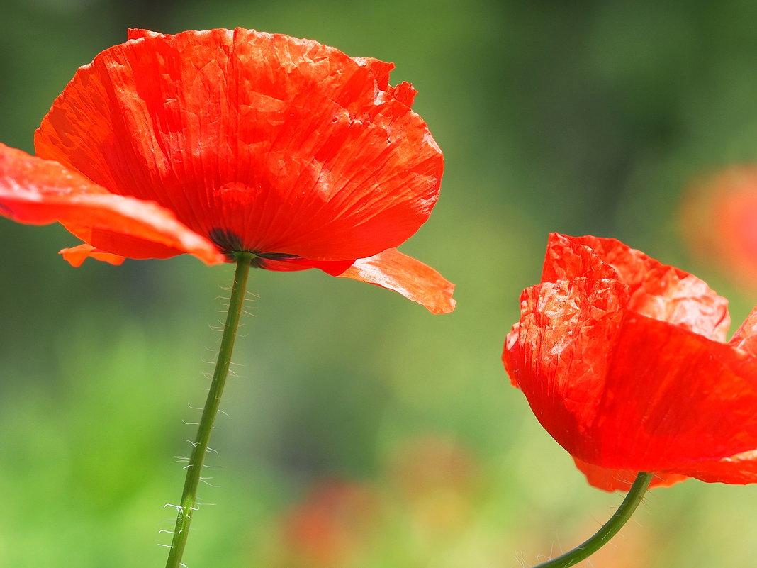 Ангельские цветы - Swetlana V
