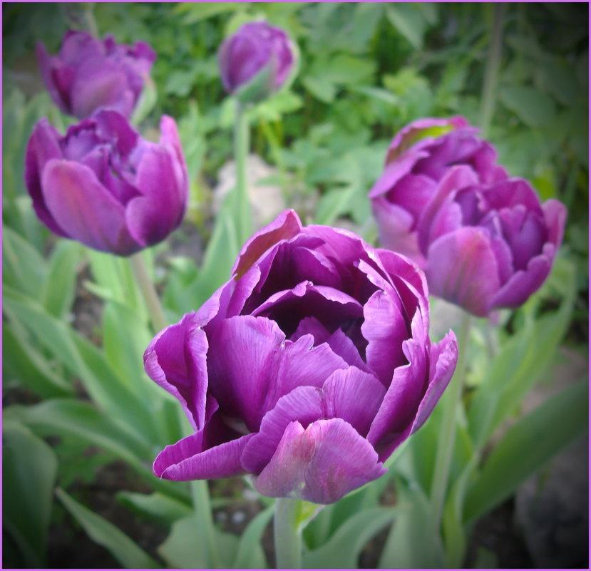 Махровые тюльпаны - lady v.ekaterina