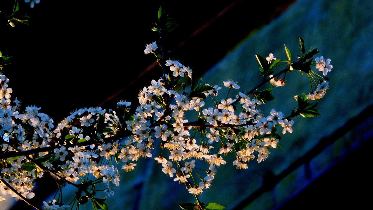 весенняя флора 2- цветущая вишня - Александр Прокудин