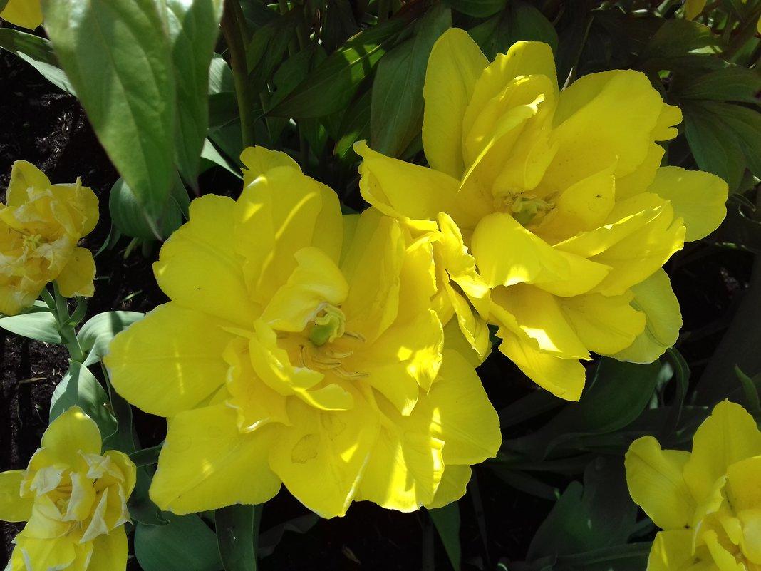 Тюльпан - Сапсан
