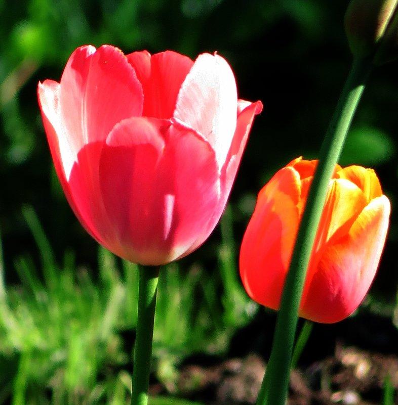 Тюльпаны нарядились в красные сарафаны. - Цветков@Галин@