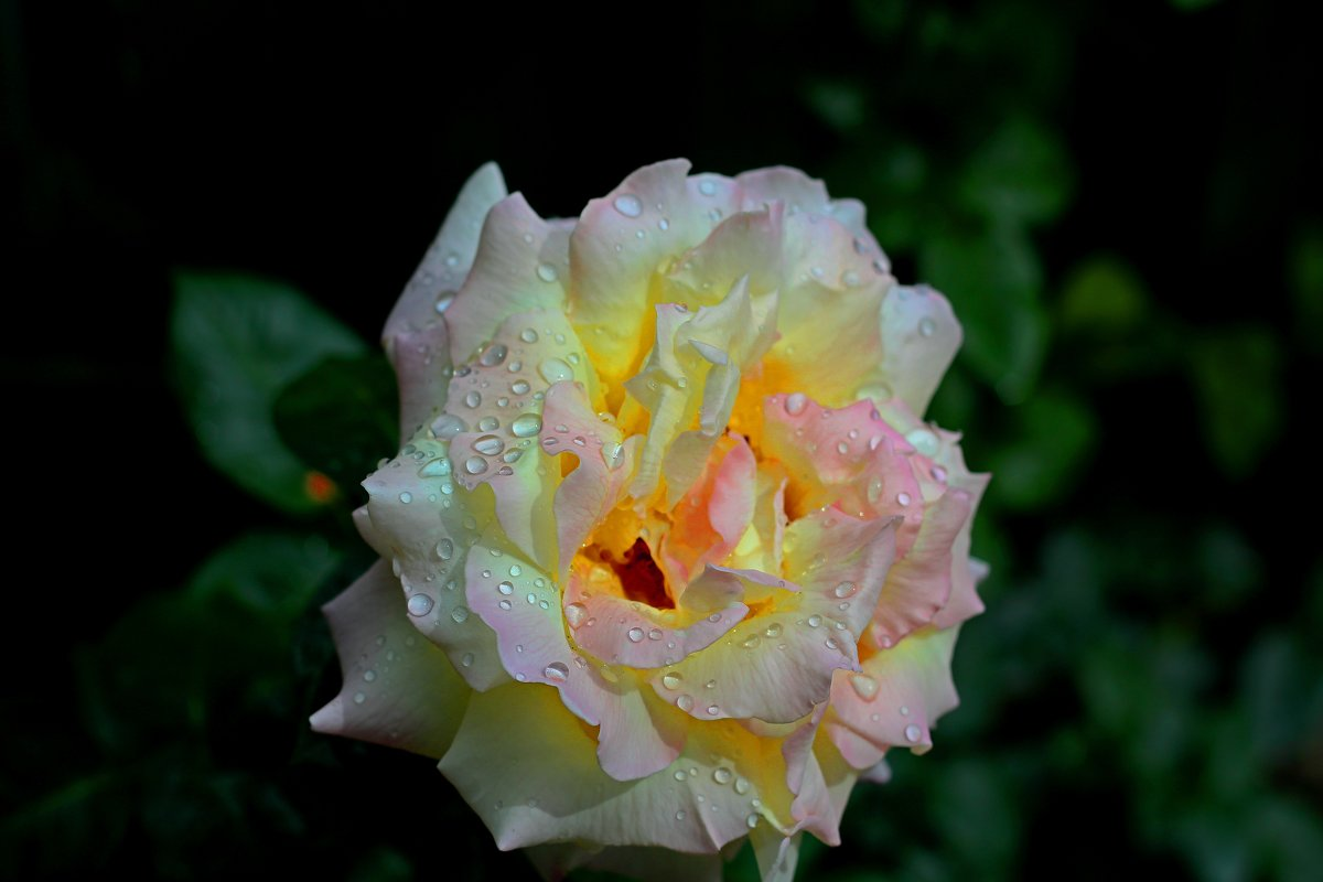 Роза после дождя - Валентин Семчишин