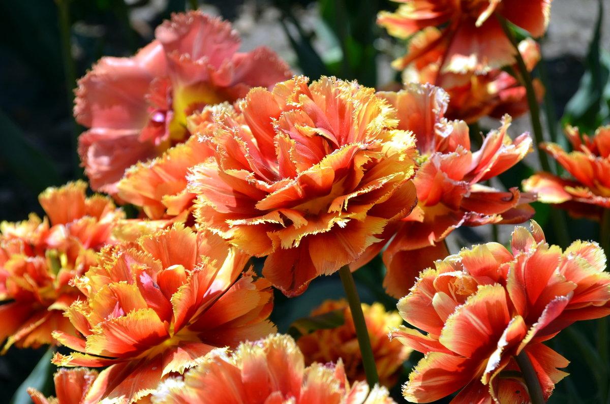 Необычные тюльпаны, похожие на гвоздику. - Ольга Голубева