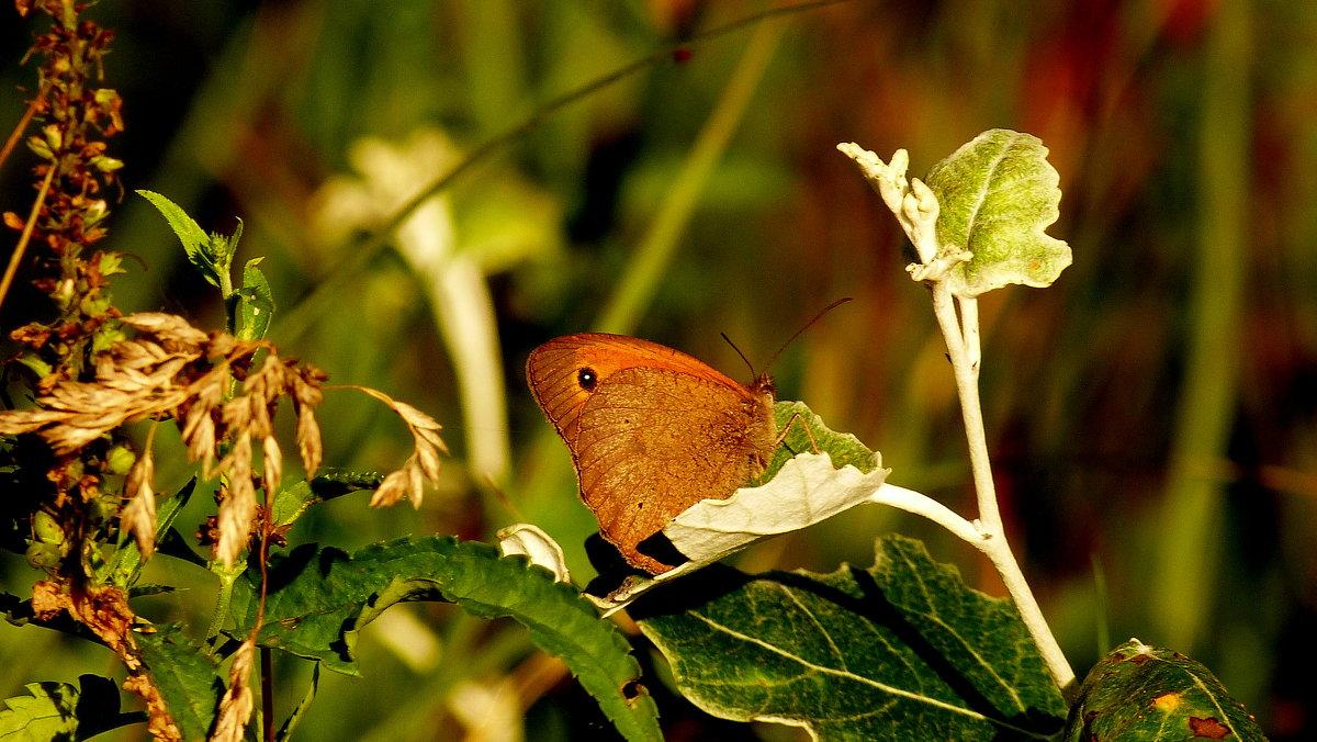 про бабочек - сенница 4 - Александр Прокудин