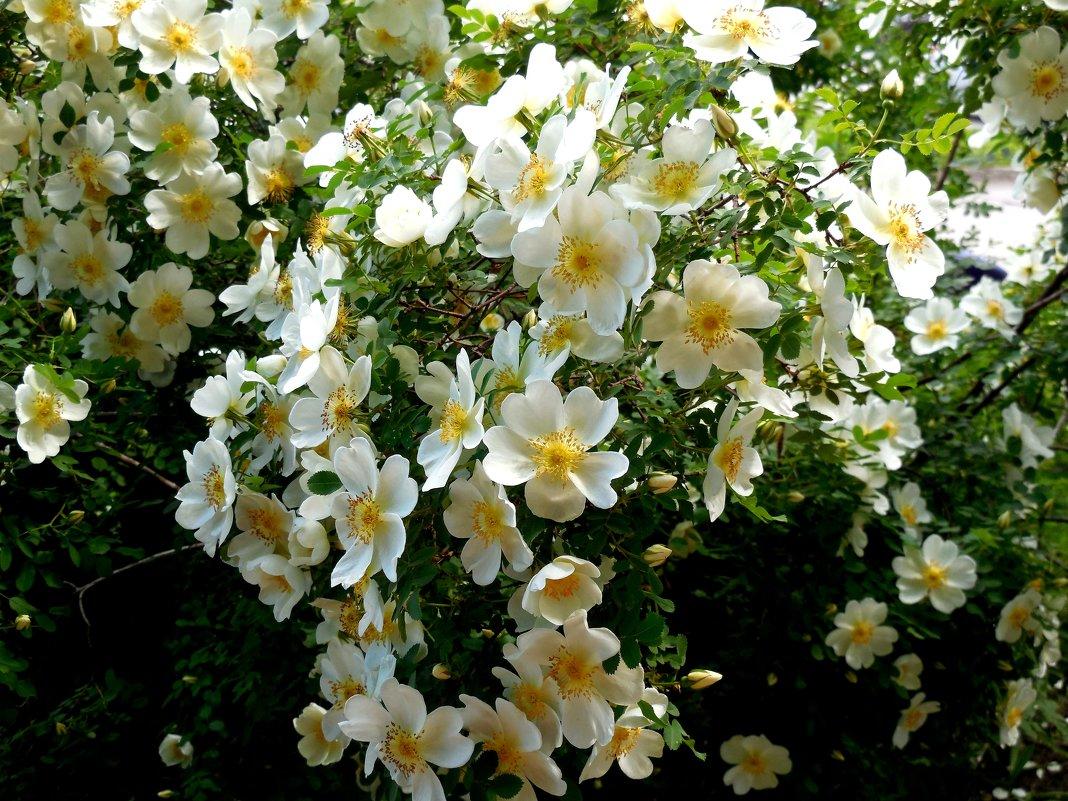 Шиповник в цвету - Надежда