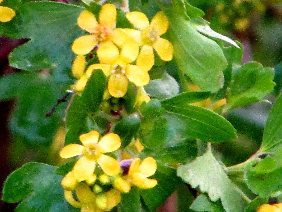 цвет лесной смородины - Светлана