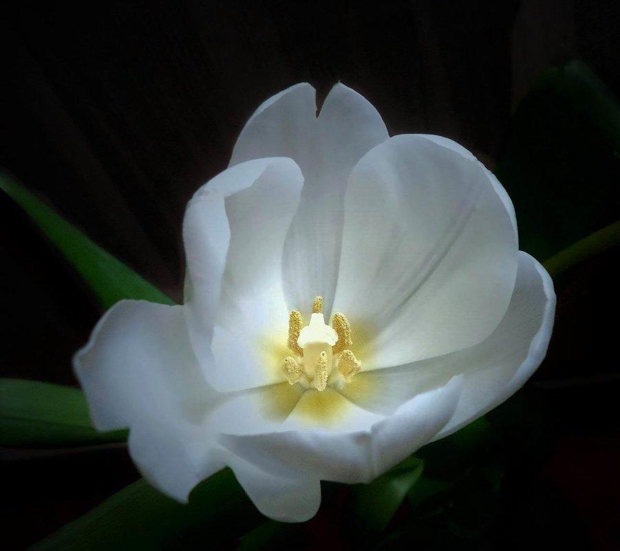 Тюльпан в сумерках - Ирина Via