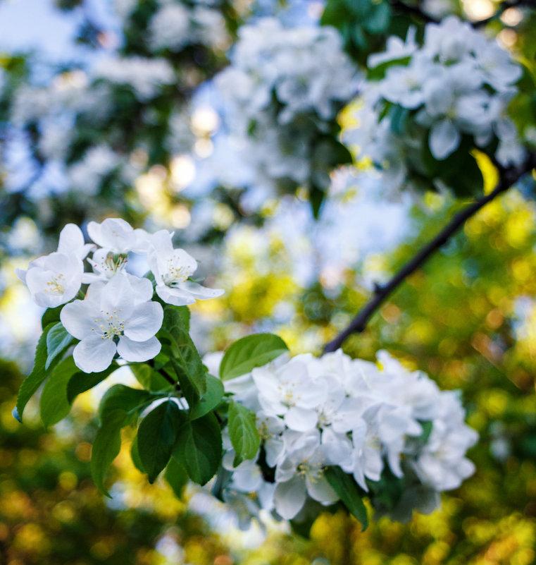 Цветы яблони. - Андрей Гриничев