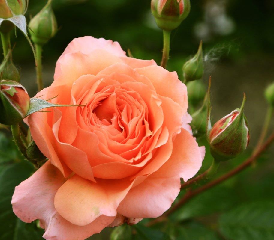 майская роза - Игорь Kуленко