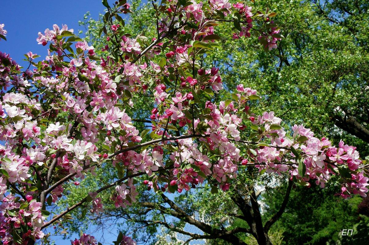 Один раз в год сады цветут... - Елена Павлова (Смолова)