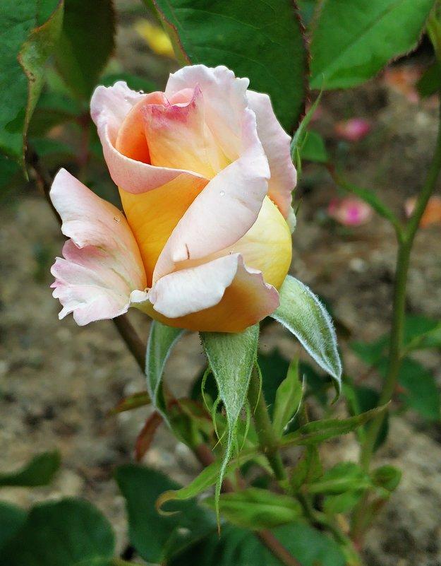 Розовое царство прекрассно - Антонина Владимировна Завальнюк