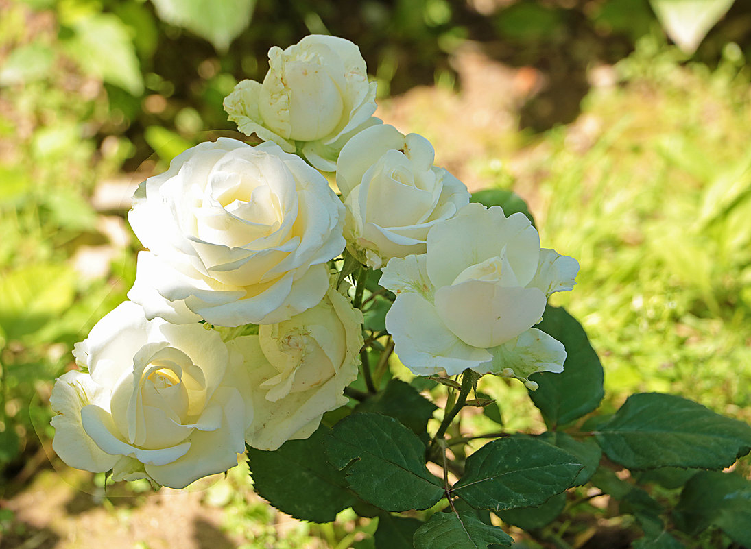 Нежность белых роз - Светлана
