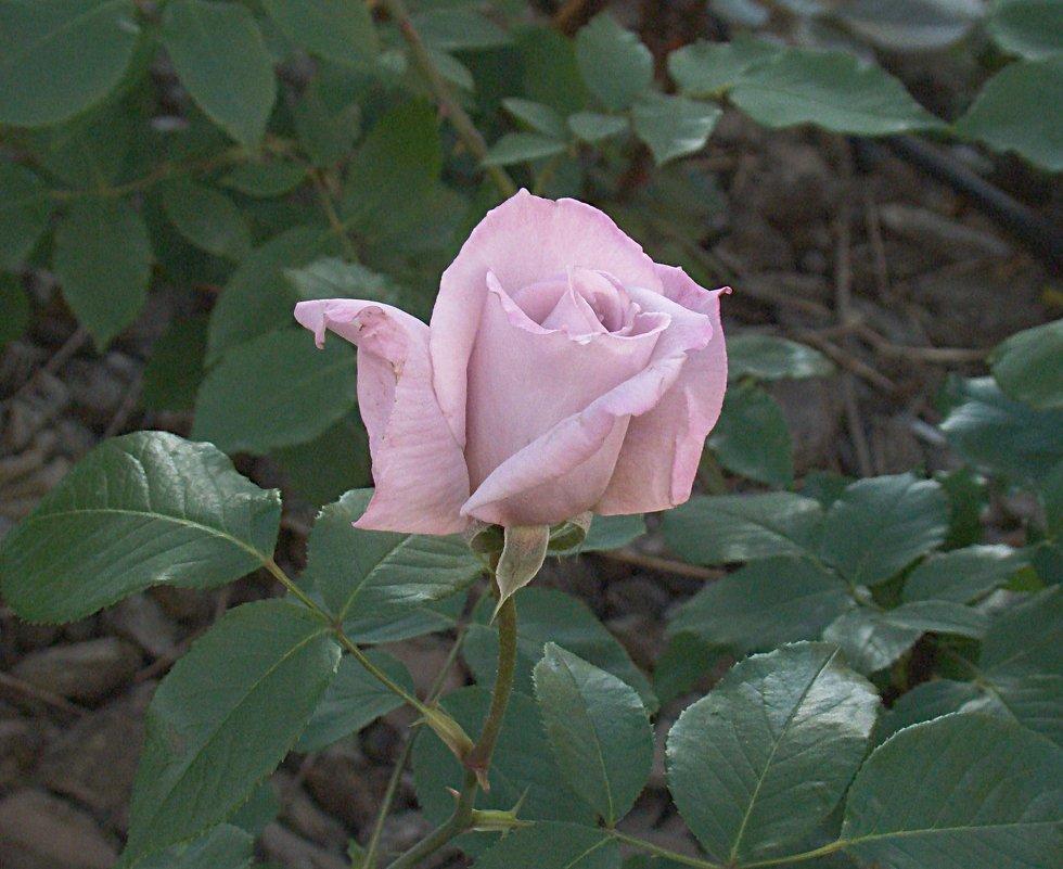 Розы - значит, лето! - Syntaxist (Светлана)