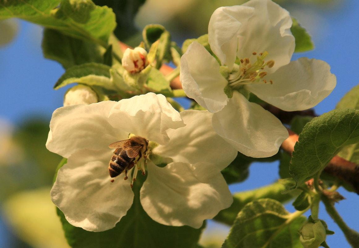 Яблони в цвету - Татьяна Ломтева